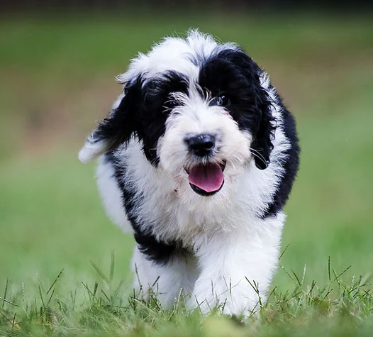 Sheepadoodle Breeders Indiana Feathers And Fleece Farm