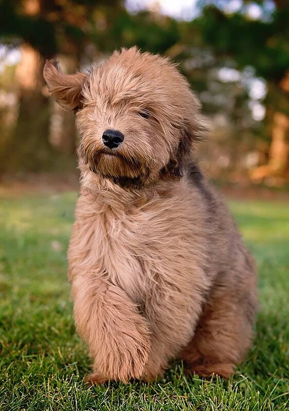 Whoodle Puppies For Feathers And